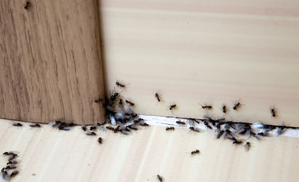 Get rid of ants in your home naturally