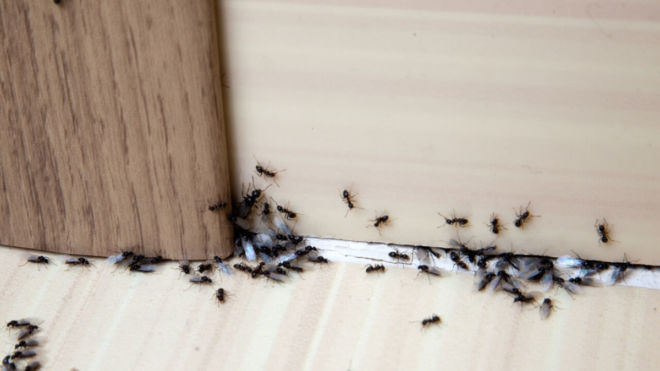 How to Keep Ants Away from Your Home… Naturally